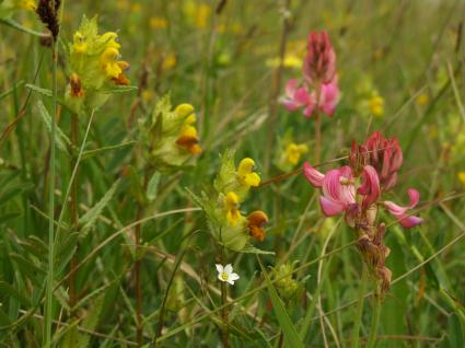 Sainfoin (Onobrychis viciifolia), yellow rattle (Rhinathus minor) and fairy flax (Linum catharticum)