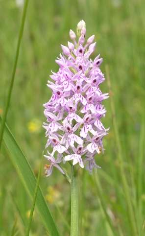 Common Spotted-orchid (dactylorhiza fuchsii), Strawberry Banks SSSI, Stroud, Gloucestershire