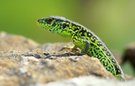 Male Sand Lizard (Lacerta agilis) in Breeding Colours